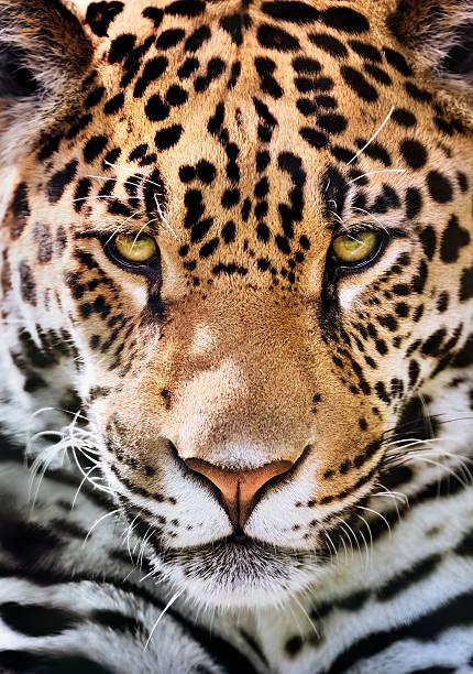 jaguar portrait front-view of a jaguar (Panthera onca) jaguar cat stock pictures, royalty-free photos & images