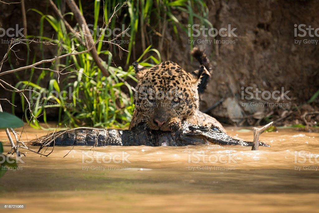 Jaguar pulling dead yacare caiman through water stock photo