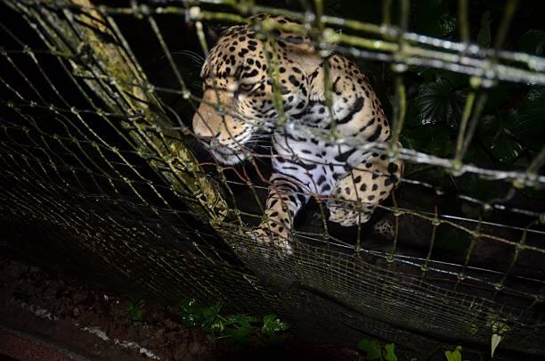 jaguar fond de clôture en fil de fer - cage animal nuit photos et images de collection