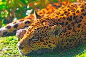 istock Jaguar resting, relaxing on the Grass - Pantanal wetlands, Brazil 1130588665