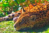 istock Jaguar resting, relaxing on the Grass - Pantanal wetlands, Brazil 1130778798