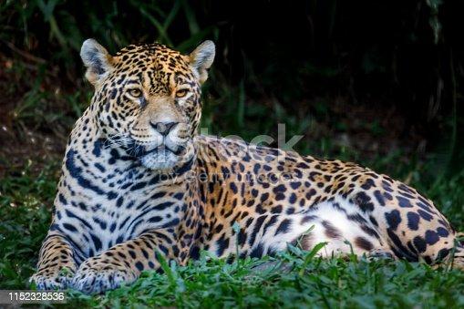 Jaguar resting, relaxing on the jungle - Pantanal wetlands, Brazil