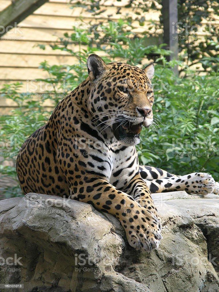 jaguar sitting on rock royalty-free stock photo