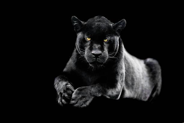 Jaguar med svart bakgrund bildbanksfoto