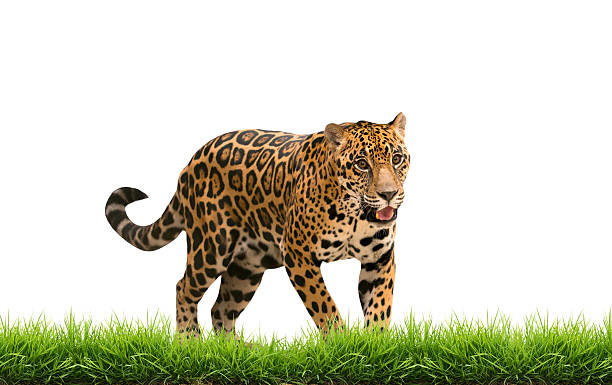 Jaguar with green grass isolated picture id518547977?b=1&k=6&m=518547977&s=612x612&w=0&h=d8w5t2spclbba jgjlrqiycsv5nfv68wvm9bjreilie=