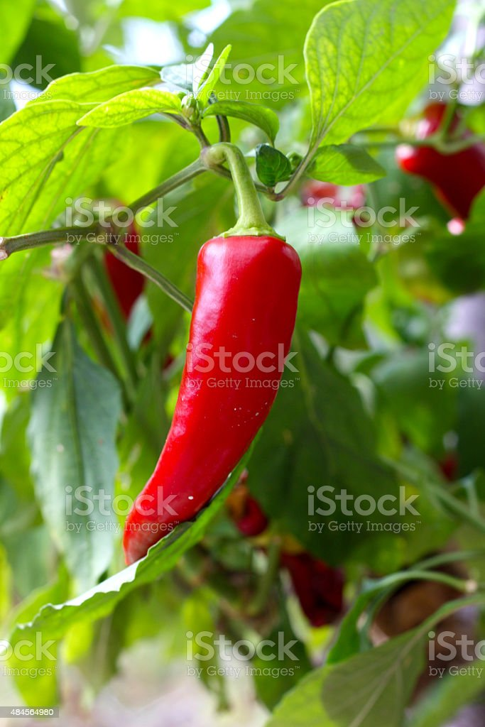 Jalapeno stock photo