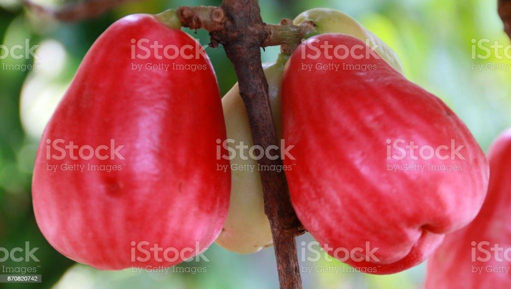 Jamaican apple stock photo