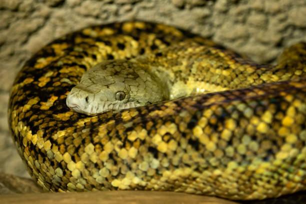 Jamaikanische Boa, Epicrates Subflavus, diese Schlange ist vom Aussterben bedroht. – Foto