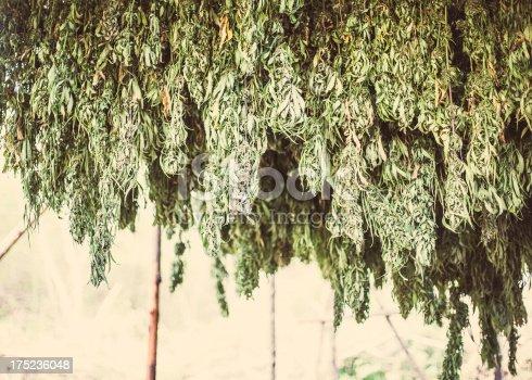 Good quality marijuana plants hanging to dry.