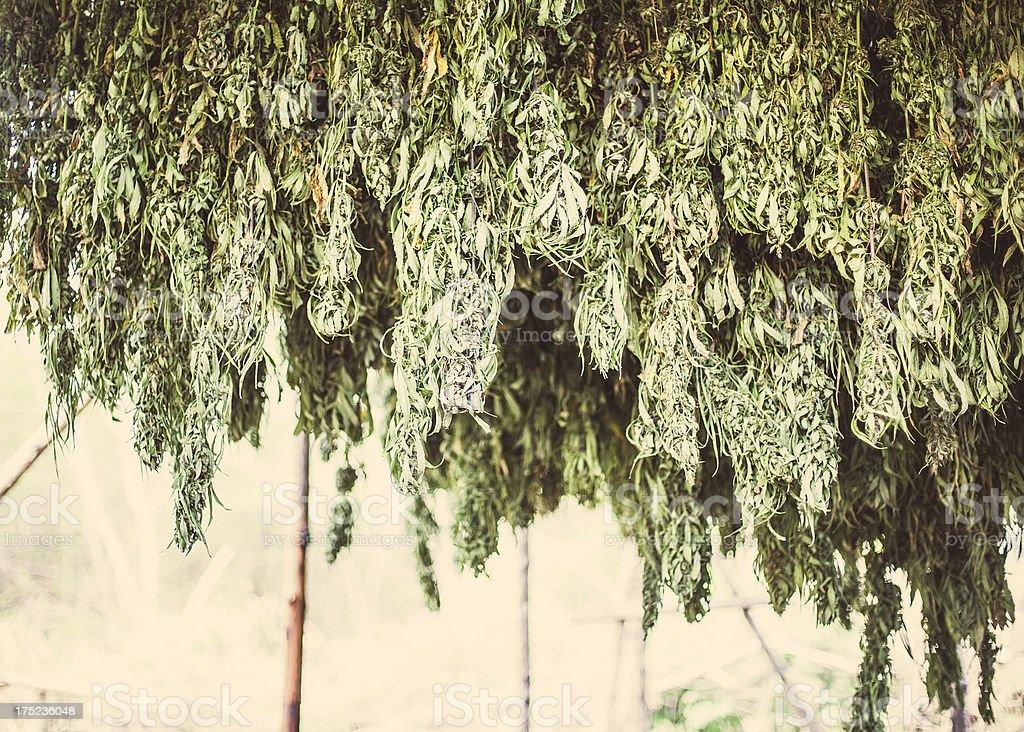 Jamaican herb. stock photo