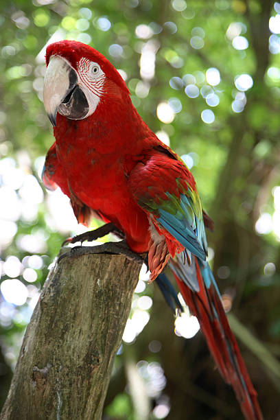 jamaican parrot - green winged macaw stock photos and pictures