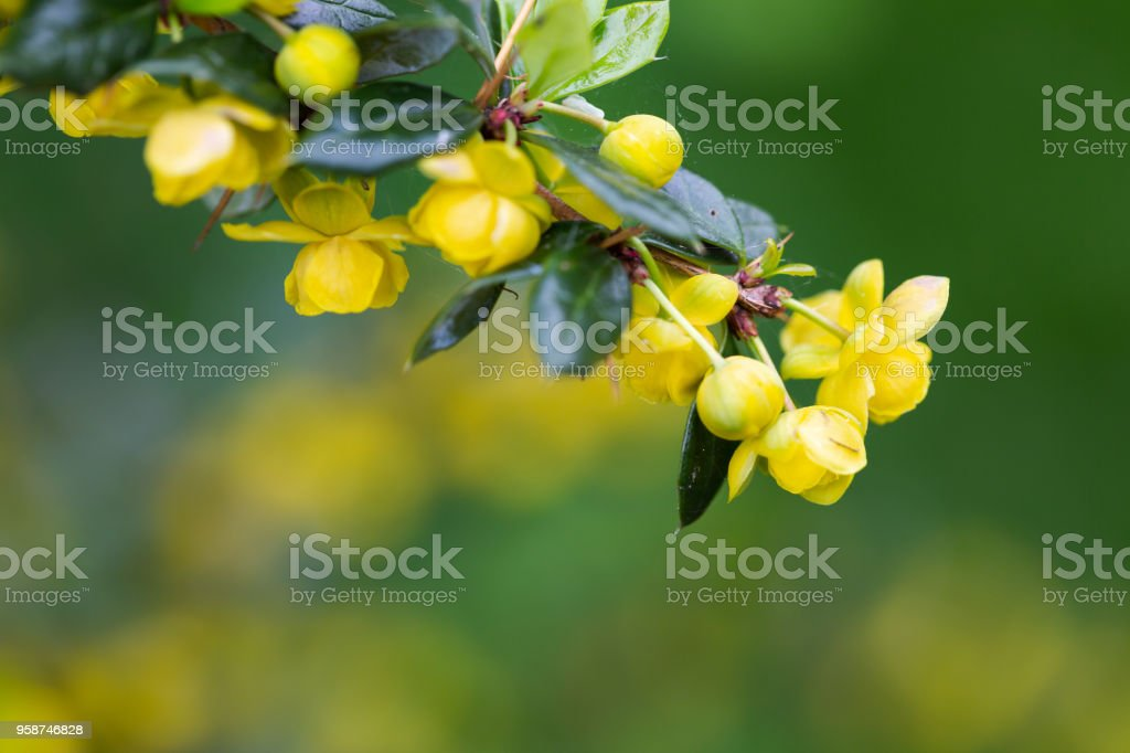 James's barberry, Berberis jamesiana, selective focus on bush branch with yellow flowers. stock photo