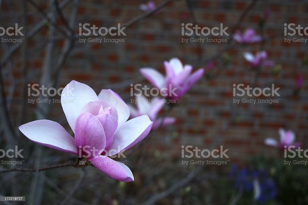 'Jane' Magnolia in Bloom stock photo