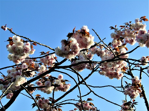 There are many different types of cherry trees, with so different  flowers in Japan.