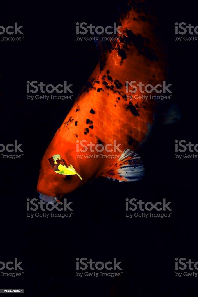 Japan carp fish in black background stock photo
