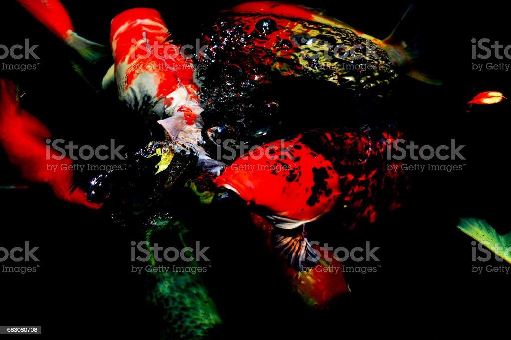 Japan carp fish in black background foto de stock royalty-free