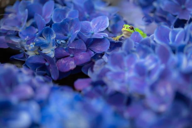 japanische hydrangea - regenzeit stock-fotos und bilder