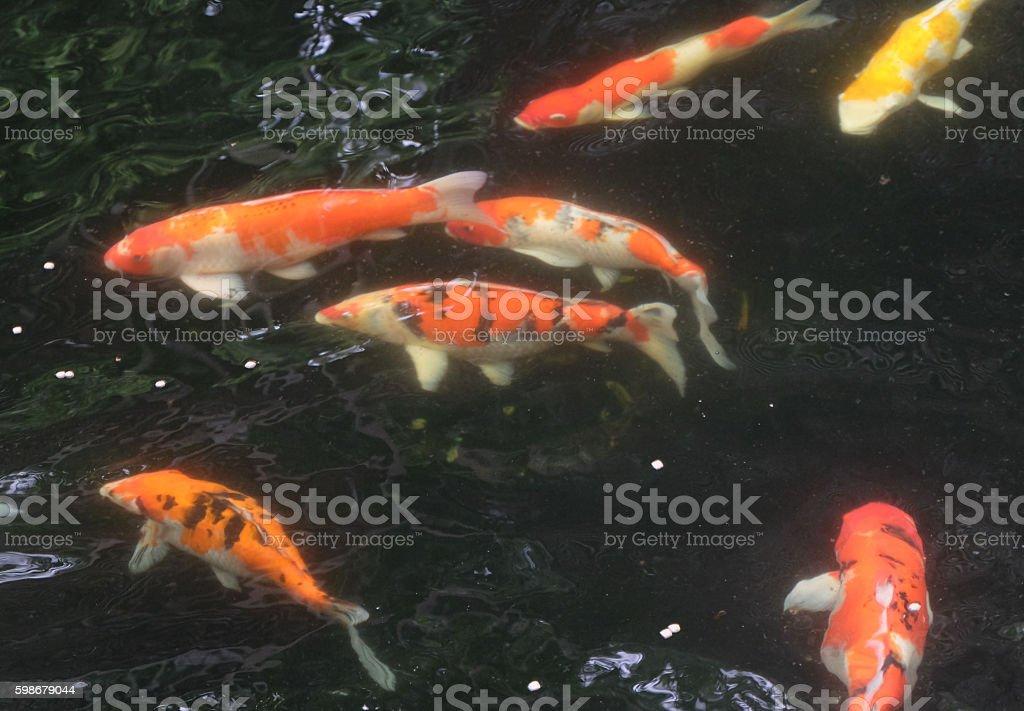 Japan Koi Carp In Koi Pond Stock Photo Download Image Now Istock