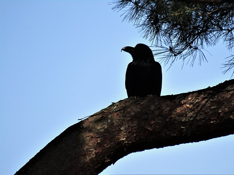 Japan. March. Crow on the pine tree.