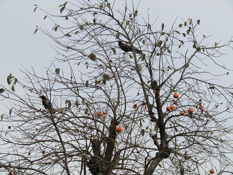 Japan. October. Halloween landscape. Persimmon tree with crows.