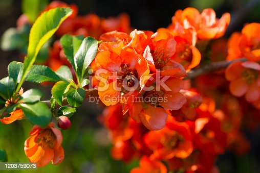 Japan quince (Chaenomeles japonica) in spring bloom