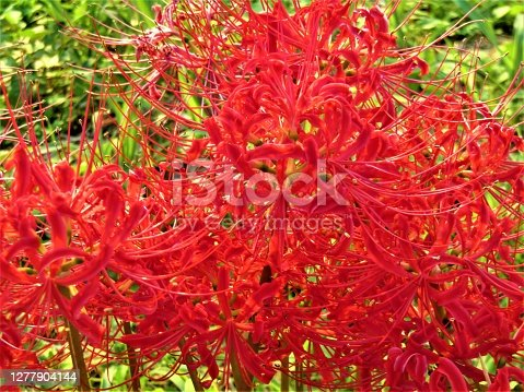 Lycoris, or spider lilies, or hurricane lilies, or cluster amaryllis