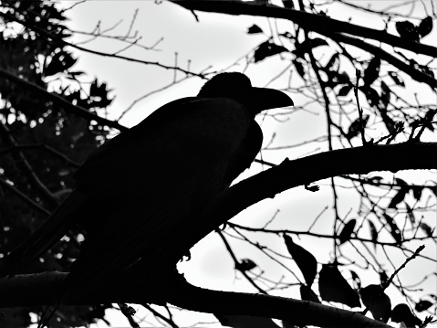 Japan. September. Crow. Portrait in silhouette. Black and white.