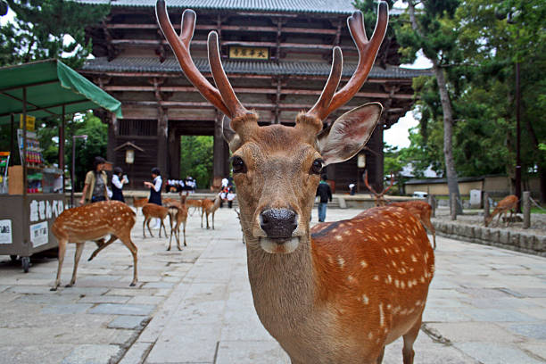 Japan: Sika Deer at Nara Park stock photo