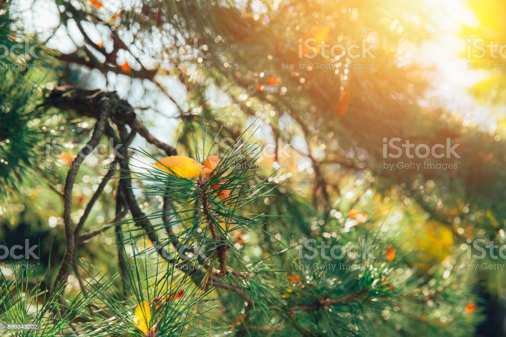 Japan wood forest pine tree in Autumn Fall season with morning light sunshine stock photo