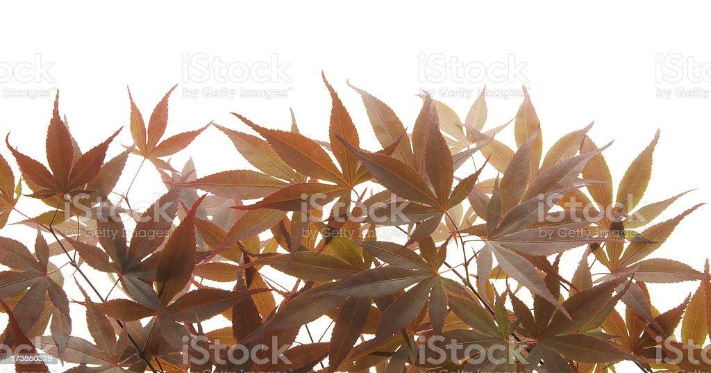 Japanese Acer leaves on white background royalty-free stock photo