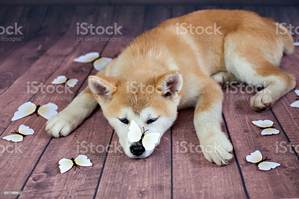 Japanese Akita Dog Resting On The Floor stock photo