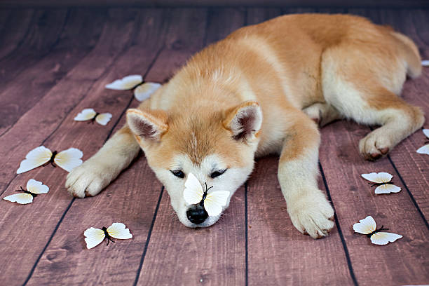 Japanese Akita Dog Resting On The Floor - foto de stock