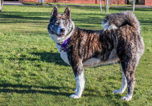 Japanese Akita dog standing on grass in a park stock photo