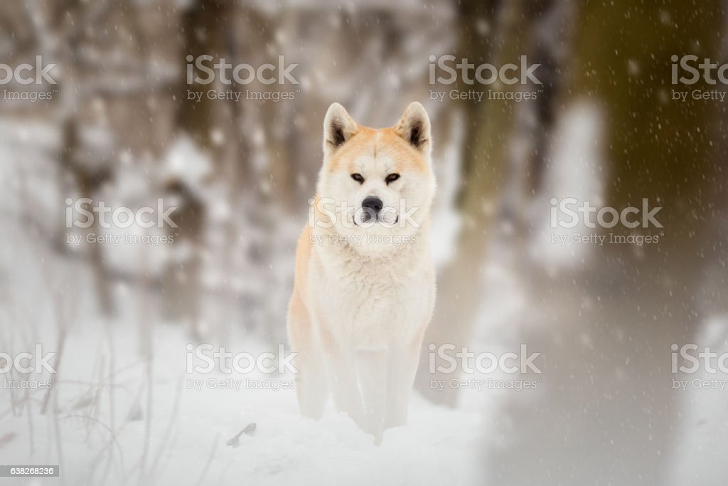 Japanese Akita Inu Dog Winter Portrait stock photo