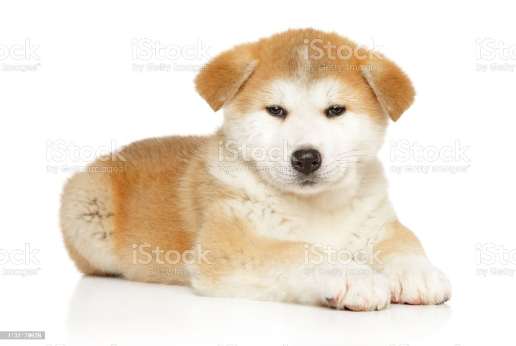 Japanese Akita Inu Puppy Lying On White Background Stock Photo Download Image Now Istock