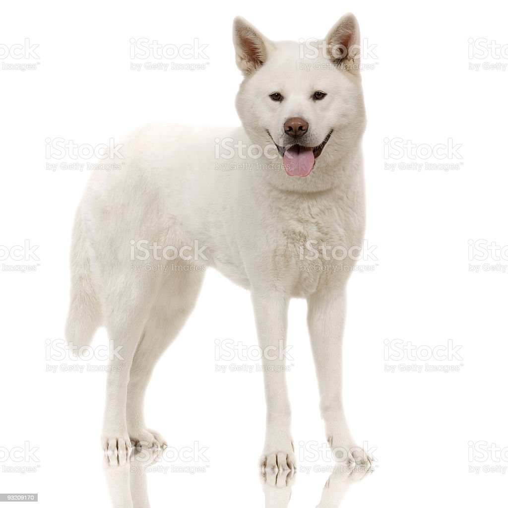 japanese akita stock photo