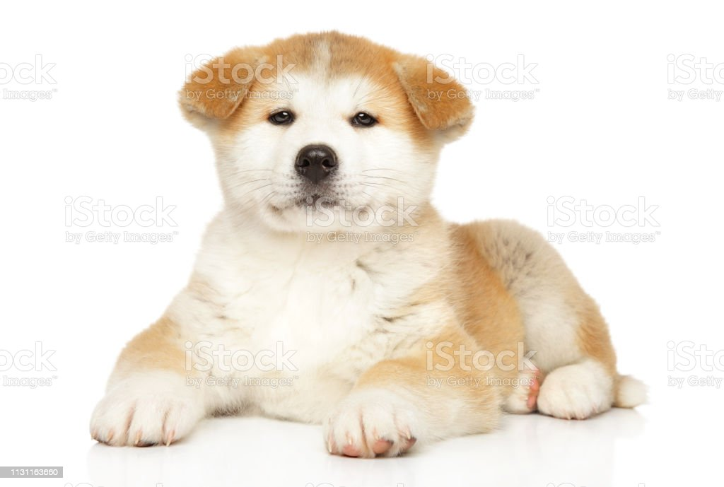 Japanese Akitainu Puppy On White Background Stock Photo Download Image Now Istock