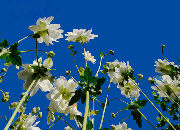 Japanese anemone against a blue sky.​​​ foto