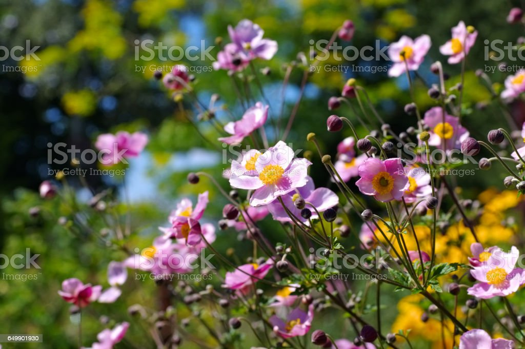 Japanese anemone flowers in summer stock photo