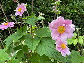 Japanese Anemone in Eynsford, England