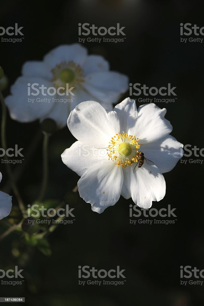 Japanese Anemone with insect stock photo