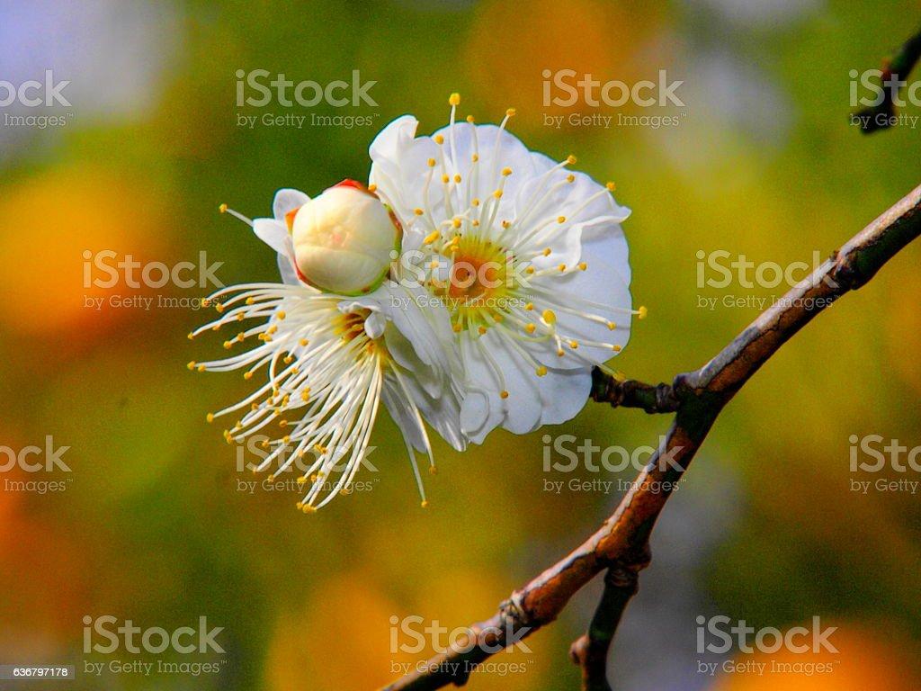 Flores de damasco japonês - foto de acervo