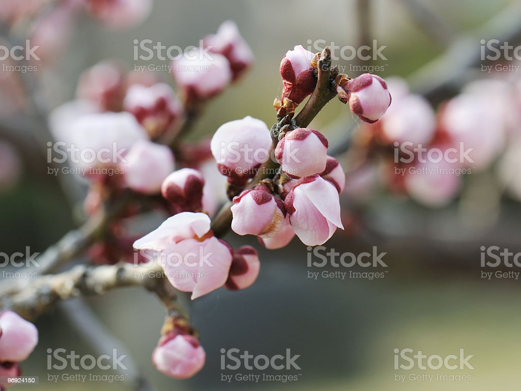 Japanese apricot flower buds royalty-free stock photo