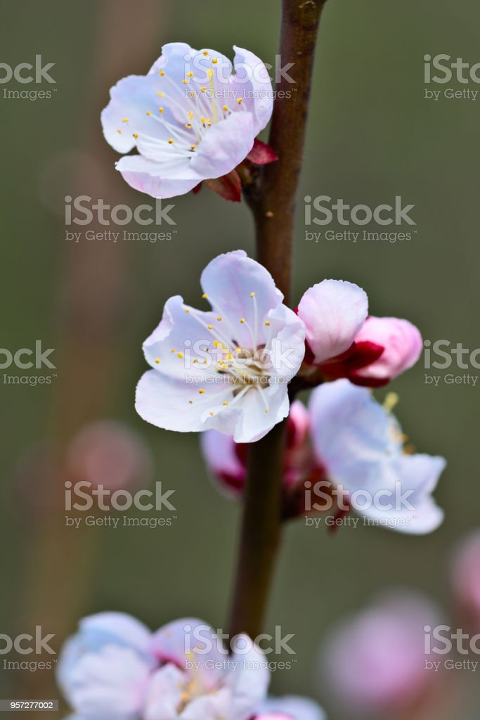 Japanese apricot stock photo