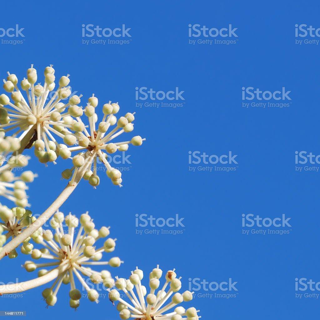 Japanese Aralia and Blue Sky stock photo