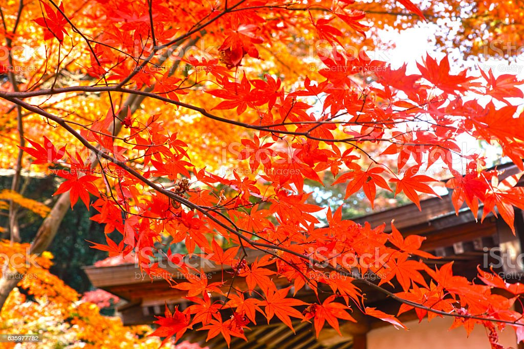 Japanese autumn leaves stock photo
