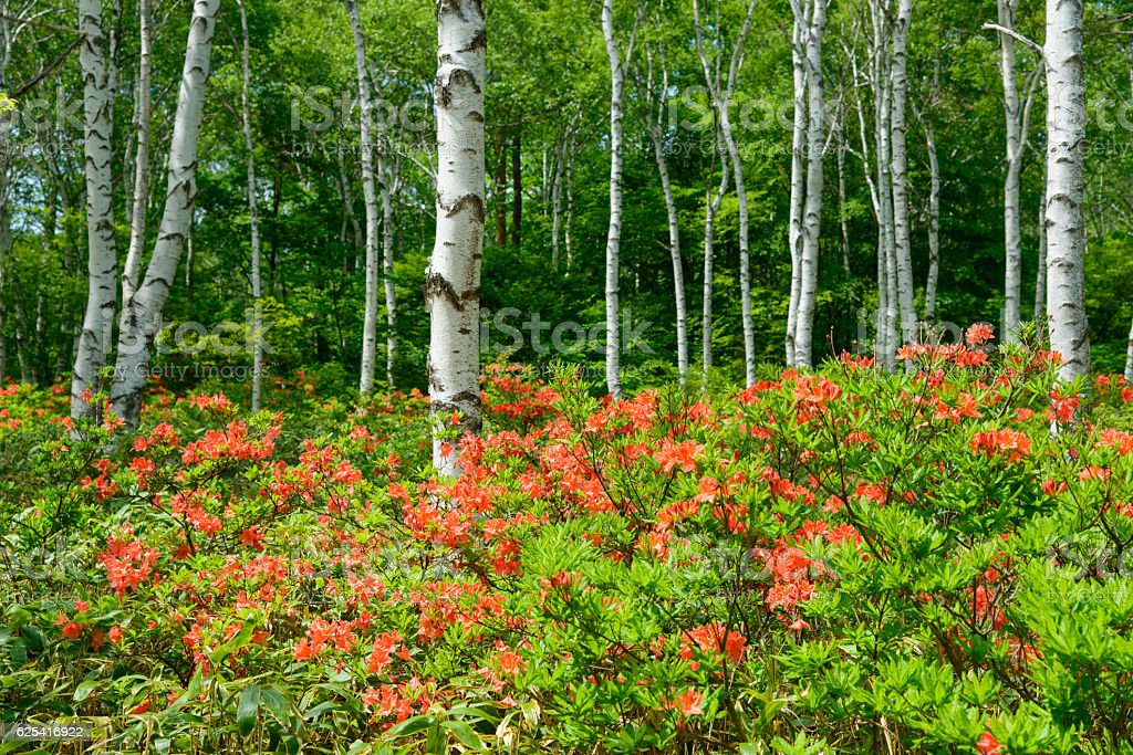 Japanese Azalea and Birch forest at Yachiho highlands in Nagano stock photo