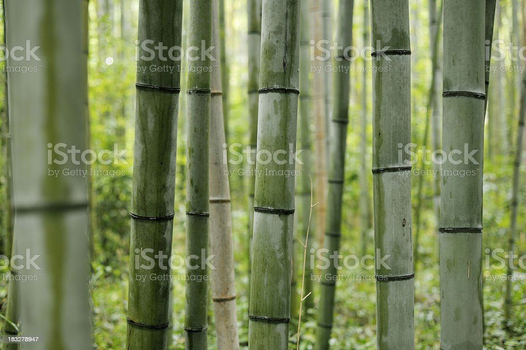 Japanese Bamboo Forest royalty-free stock photo