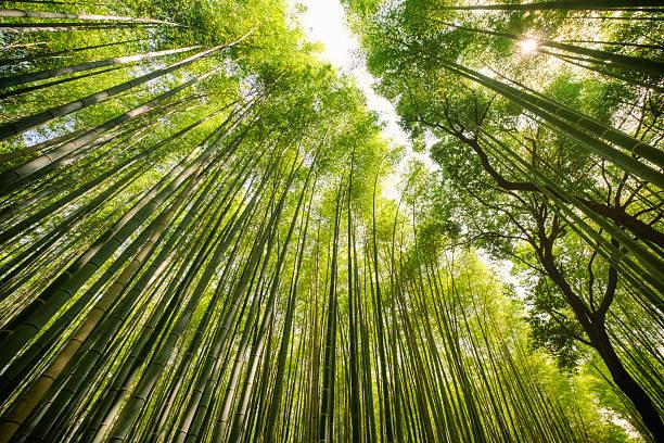 Forêt de bambou japonais - Photo