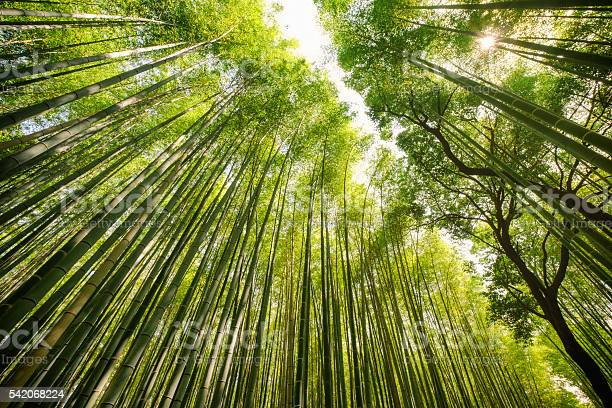 Photo of Japanese Bamboo Forest